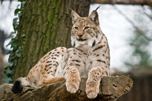 Eurasischer-Luchs-Lynx-lynx